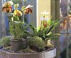 A Grouping of Lady Slippers