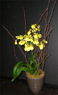 Yellow Oncidum orchids